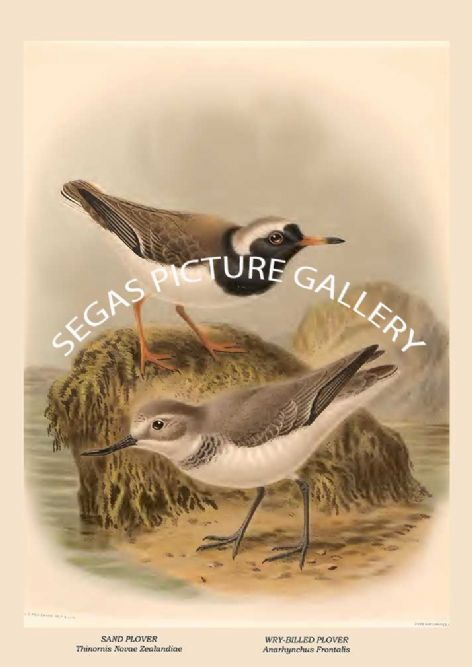 Fine art print of the SAND PLOVER - Thinornis Novae Zealandiae, WRY-BILLED PLOVER - Anarhynchus Frontalis by Sir Walter Lawry Buller (1888)